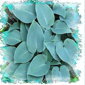 Halcyon hosta, one of the best blues and inexpensive now. :)