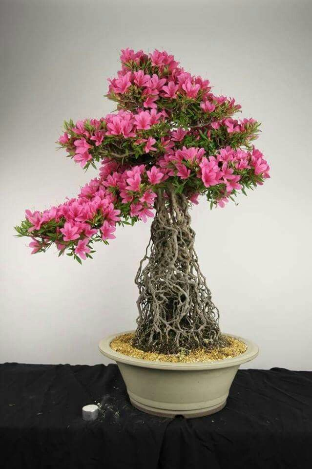 1000 images about azaleas rhodos on pinterest trees for Azalea bonsai
