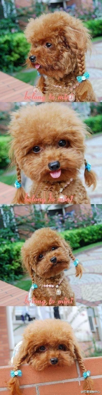 Apricot poodle with braids. I can't.