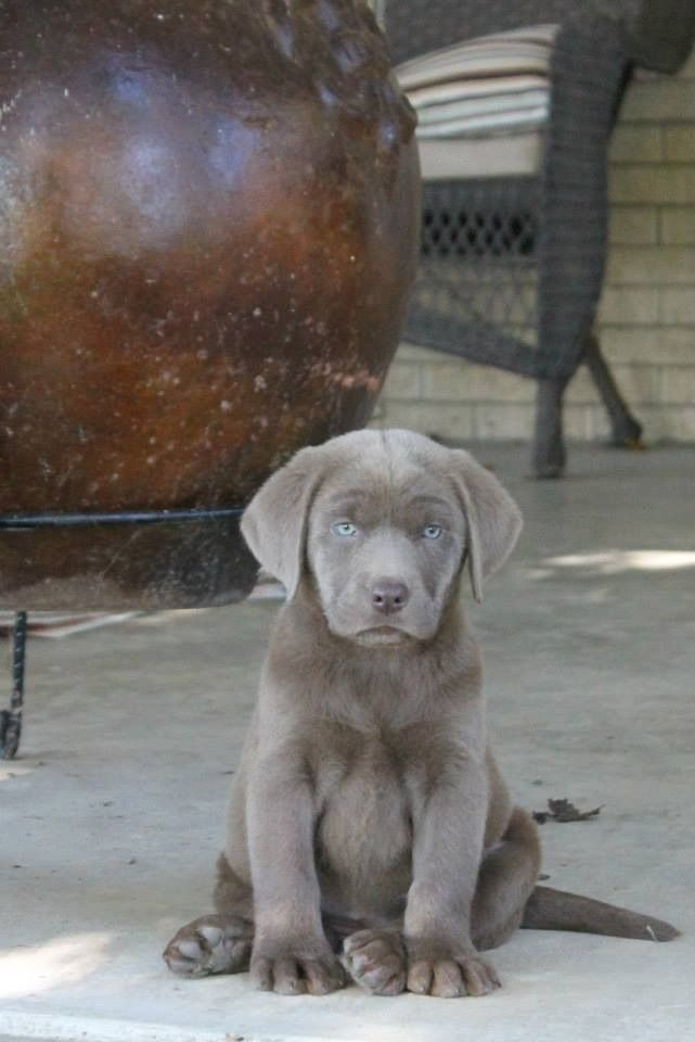 Silver Labrador puppy                                                                                                                                                                                 More