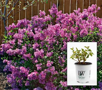'Bloomerang', a new lilac variety that blooms in spring, then puts out new flushes of flowers from midsummer until frost is one of the hottest shrubs of 2009. Like other lilacs, it features wonderfully fragrant flowers. But this one fits in just about any garden as it grows about 5 feet tall and wide. It's perfect for a medium-size hedge, as a foundation planting by your front door, or mixed in with you favorite perennials.