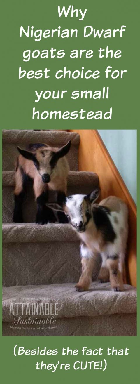 Nigerian goats area a great choice for any size homestead, but especially for folks who are short on space.