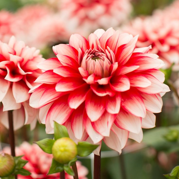 156 best Dahlien (Dahlia) images on Pinterest