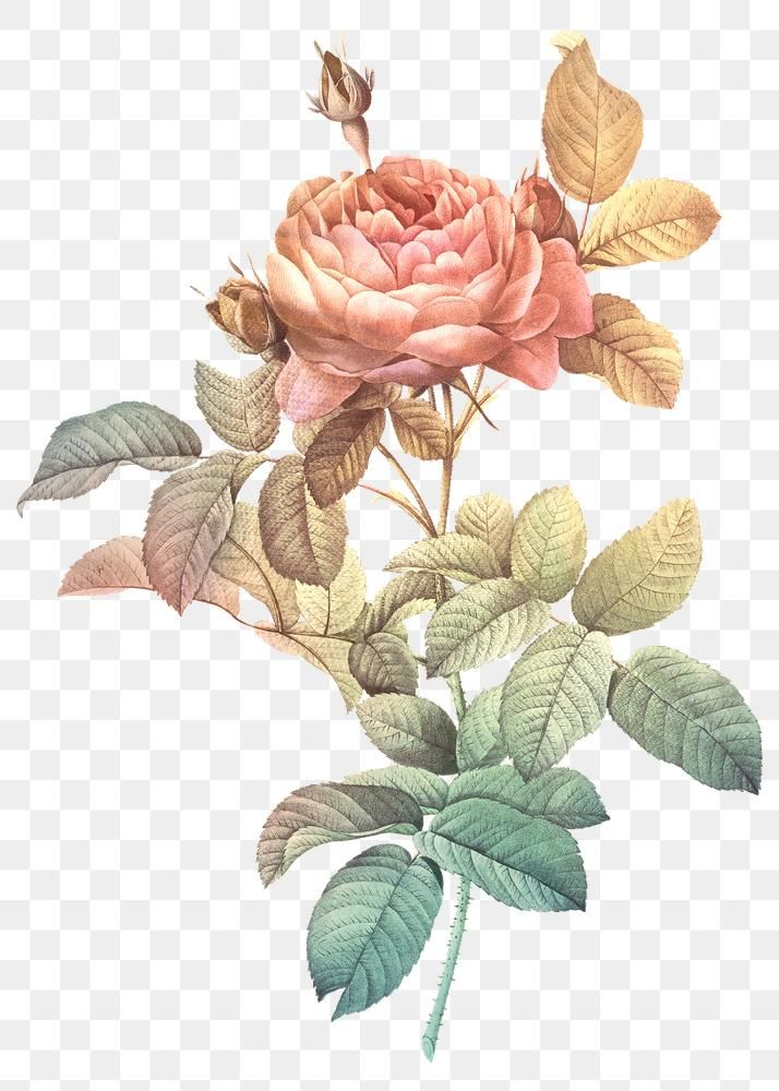 Download Premium Png Of Vintage Rose Illustration Transparent Png Design In 2020 Rose Illustration Flower Illustration Illustration