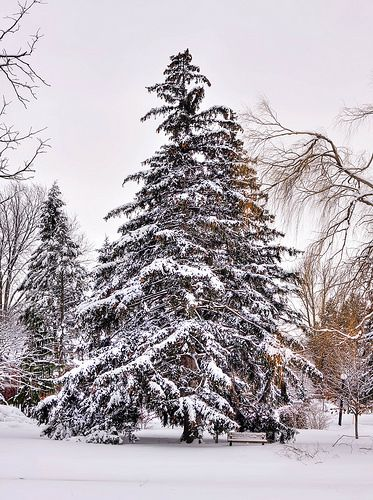Pine tree in Victoria Park , Kitchener Ontario