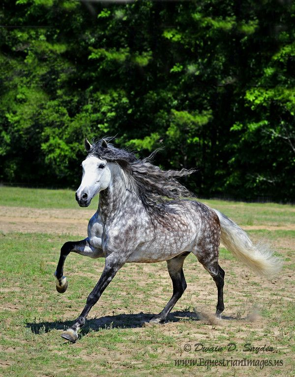 17 Best Ideas About Andalusian Horse On Pinterest Gray