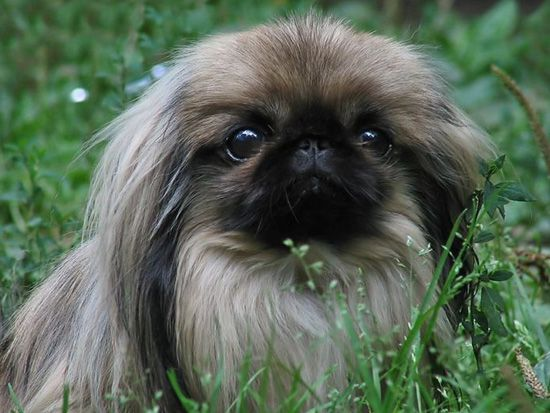 Pekinese, gave serious thought to getting one when we were looking for a dog..they are SO cute!