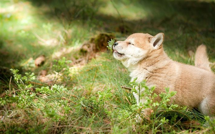 Lataa kuva Shibainu, pentu, ruoho, söpöjä eläimiä, koirat