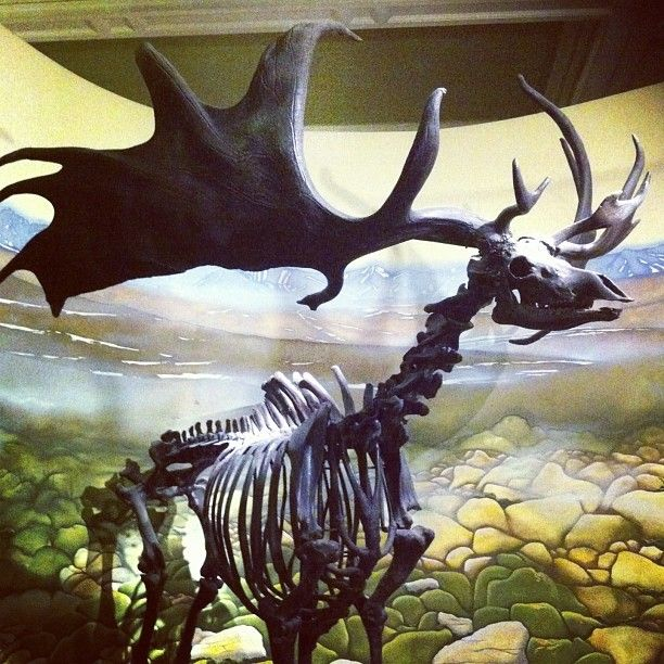 A Giant Irish Deer Skeleton at Bristol Museum and Art Gallery