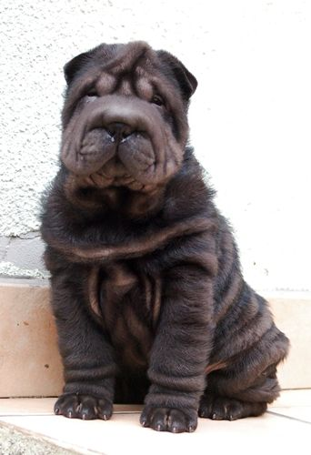 Chinese Sharpei puppy...complete with ruching ;)