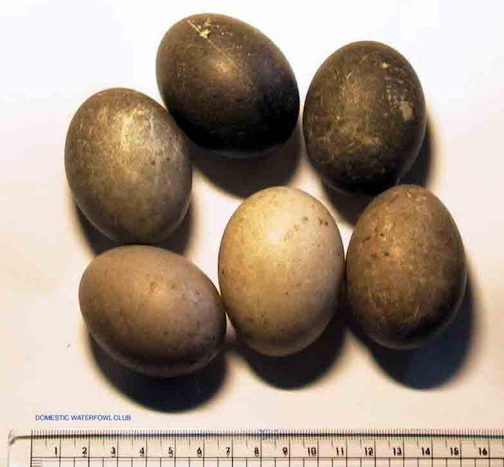 Cayuga Duck Eggs / Domestic waterfowl Club