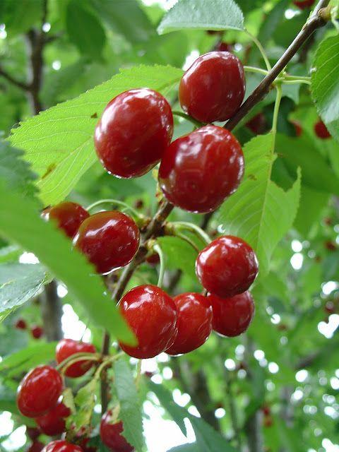 Bing cherry prunus avium tree and cherries fruits on for Cerisier nain garden bing
