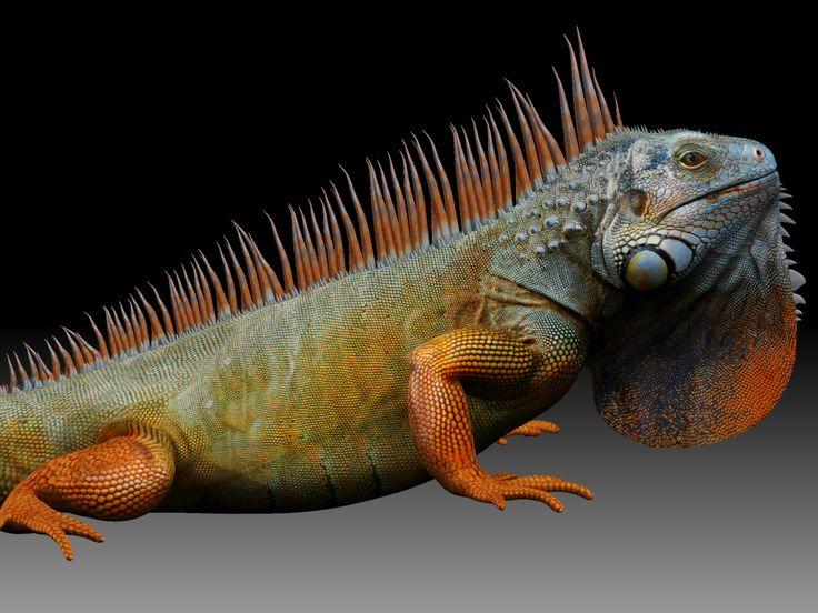 29 Best Animals Iguana Images On Pinterest