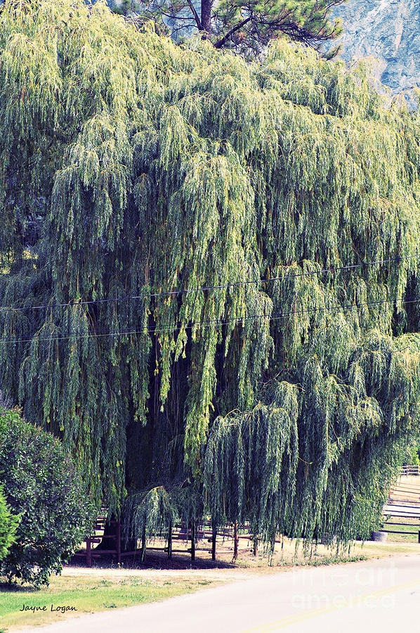Weeping Willow | Flowers/Trees | Pinterest | Trees, Love ...