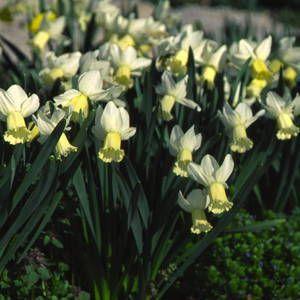 Narcissus, Surfside, Daffodil