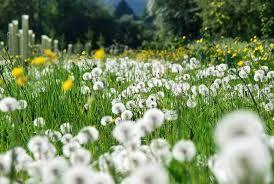 Bunga Dandelion