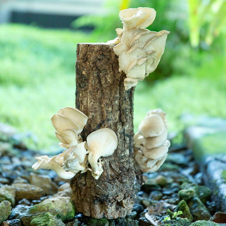 Phoenix oyster mushroom log stir fry grow kit and grow your own - Growing oyster mushrooms profit ...