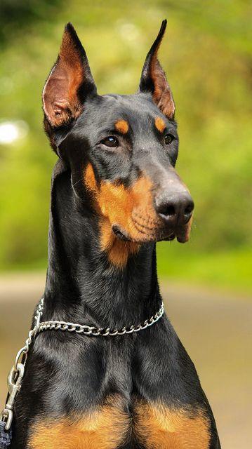 Doberman my favorite large breed dog
