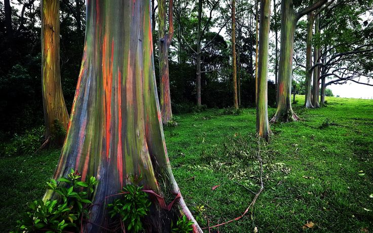 Eucalyptus deglupta is a tall tree, commonly known as the rainbow eucalyptus, Mindanao gum, or rainbow gum. It is the only Eucalyptus species found naturally in the Northern Hemisphere. Its natural distribution spans New Britain, New Guinea, Seram, Sulawesi and Mindanao. The unique multi-hued bark is the most distinctive feature of the tree. Patches of outer bark are shed annually at different times, showing a bright green inner bark. This then darkens and matures to give blue, purple…