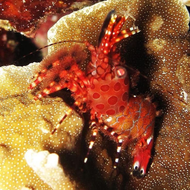 Shrimp. Similan Islands November 2009. Canon G10      #scuba #scubadiving #diving #dive #underwaterphotography #underwater #scubadive #uwphotography #diver #underwaterphoto #marinelife #scubadiver #uwphoto #scubalife #underwaterworld #reef #uwpics #uw #instadive #canon #SimilanIslands #Thailand #shrimp #canonG10