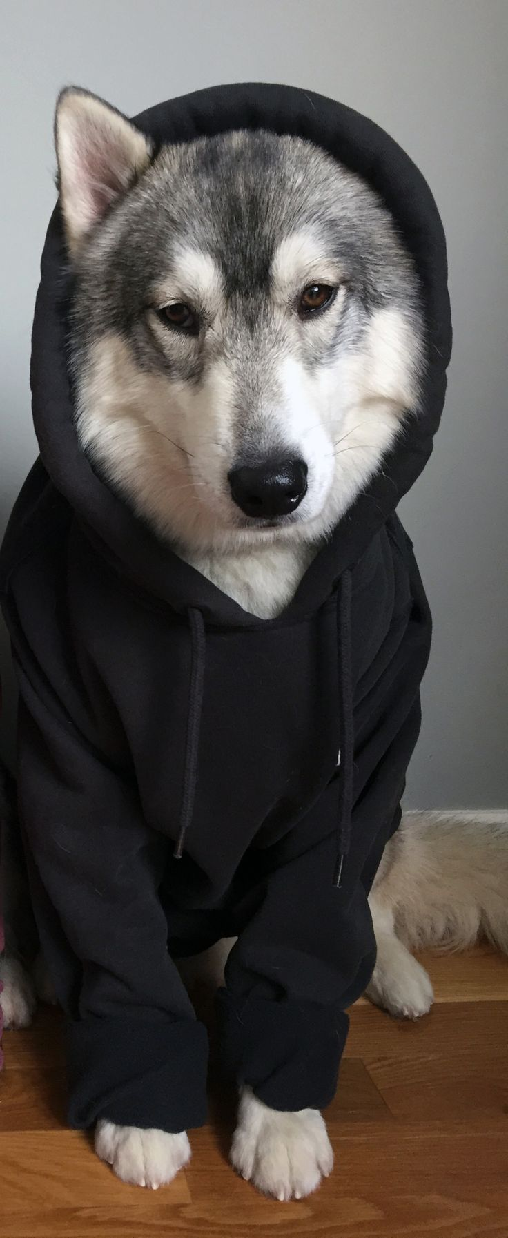#Husky ready for winter!