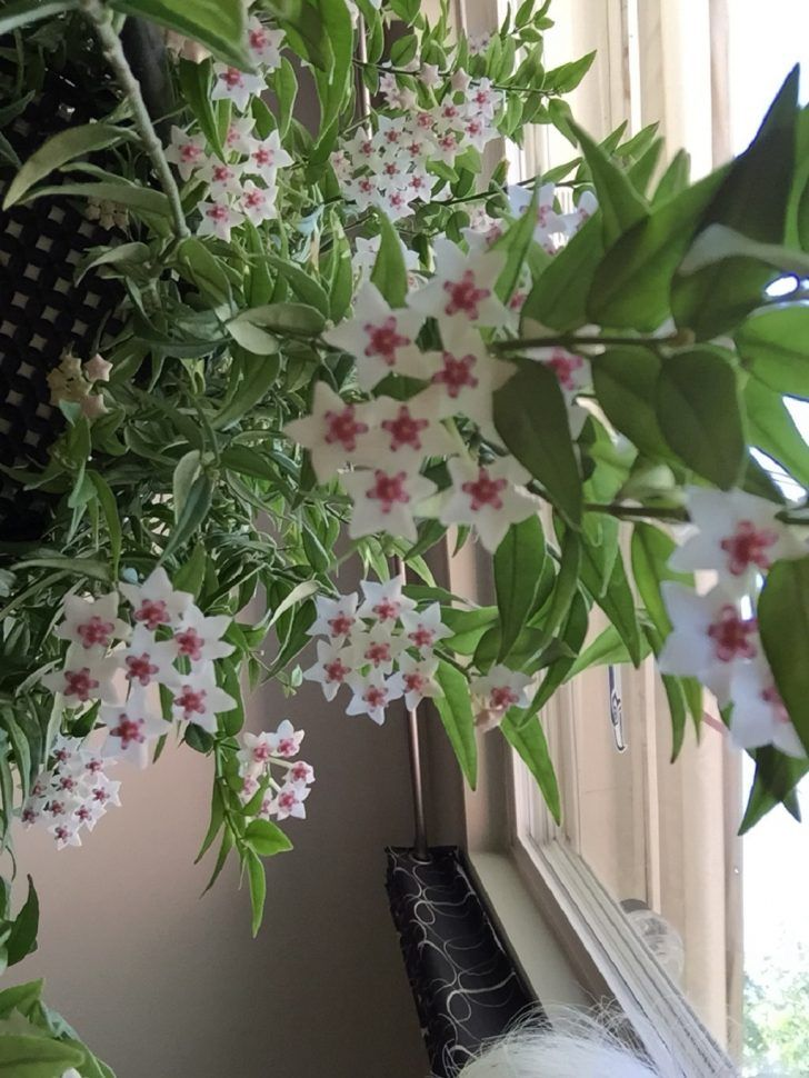 hoya wax plant. bedroom plant. relaxing indoor plant. air ...
