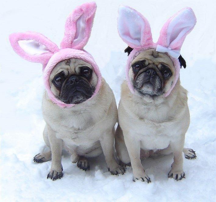 25 best ideas about pug costume on pinterest pug