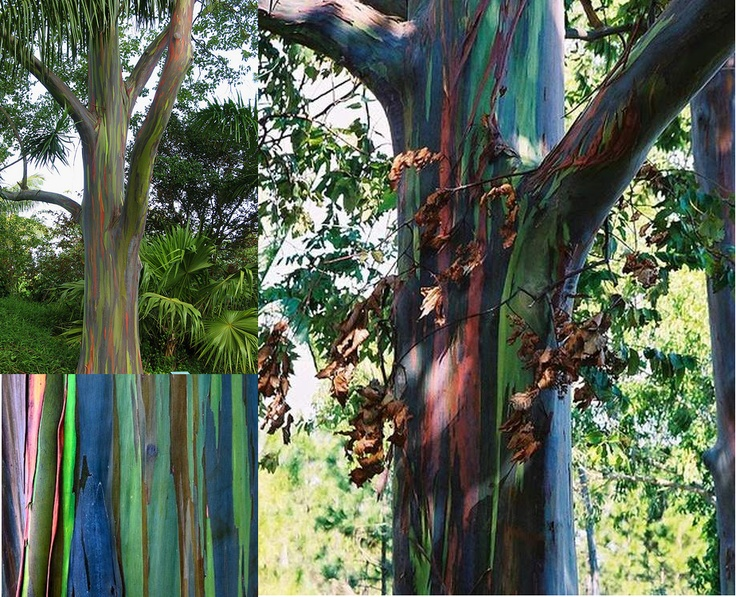 rainbow forest  eucalyptus tree bark  (not my pictures)