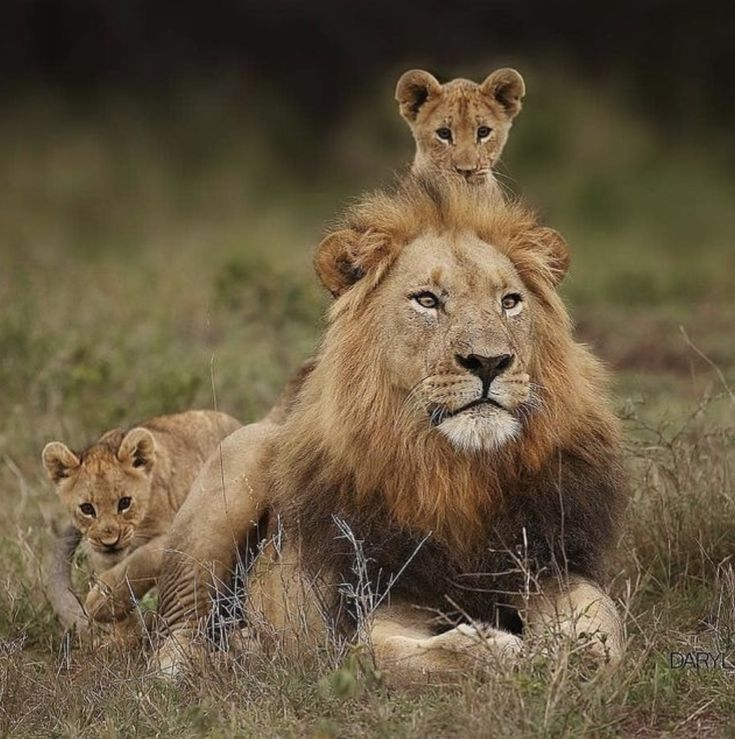 картинка льва с тремя львятами