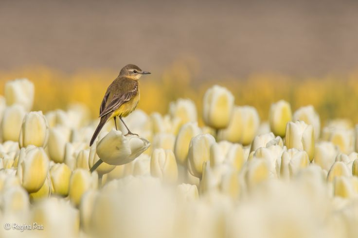 Blue-headed Wagtail in a Tulip field