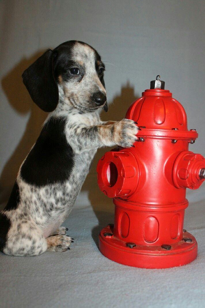Dachshund puppy ❤