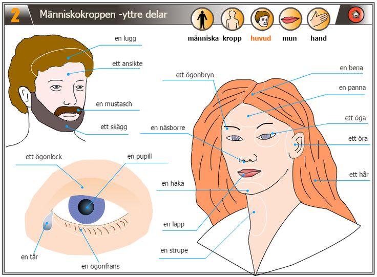 Människokroppen - yttre delar http://lexin.nada.kth.se/lang/bildteman/index.htm