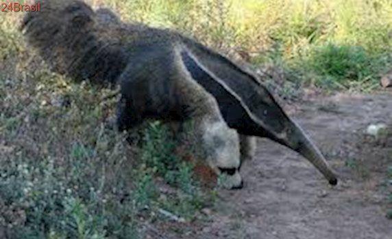 Tamanduá é devolvido à mata após ser perseguido por cães em Campo Grande