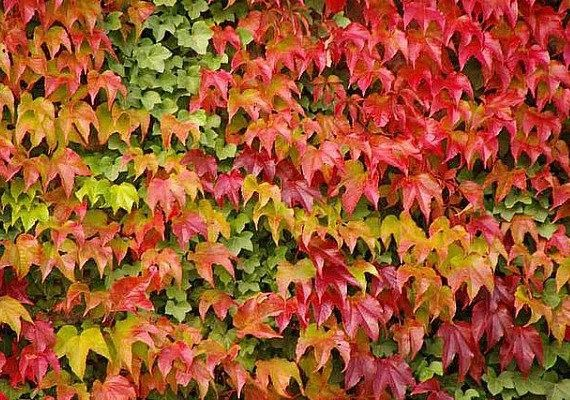 red in Autumn 25 seeds Parthenocissus tricuspidata IVY Japanese Creeper