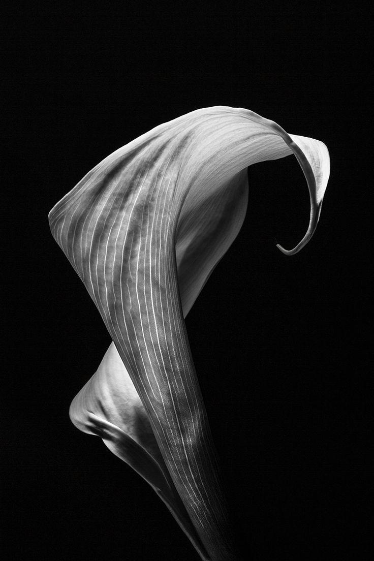 Kaska Photo » Studio flowers . Kalia - zdjęcie Kaśka Sikora #studiolife #fowers #Sikora #KaśkaSikora #interiordesign #art #gallery #macro #photography #KatarzynaSikora #wystawafotografii #fotografWarszawa