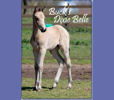 FOR SALE - BUCK'S DIXIE BELLE (pending) was born March 9th 2013.  She by The Buck Starts Here and out of Check My Stats.  Check my Stats is by Ted Williams and out of a WC Cash for Keeps mare.  This foal will be a good one.  She walks beside her mother and can stay in gait at speed.  When mama gets too fast, Dixie goes into a fast rack. Genetically tested to be EE,Crcr,AA.  Great breeding prospect. Located in Missouri. Priced at $2500.  http://www.holmesfarmwalkers.com/BucksDixieBelle.htm