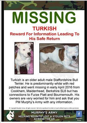 A white Staffy male named Turkish sadly went missing today around Berkshire. If you have seen him please get in touch, thank you!