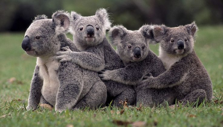Lone Pine Koala Sanctuary, Brisbane, Australia...the happiest place on earth!