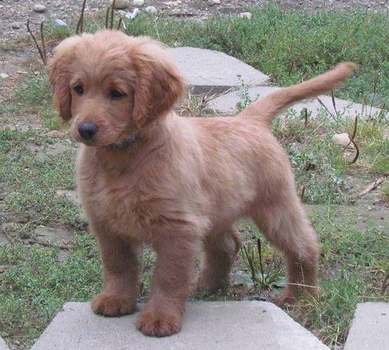 perpetual puppy: cocker retriever!