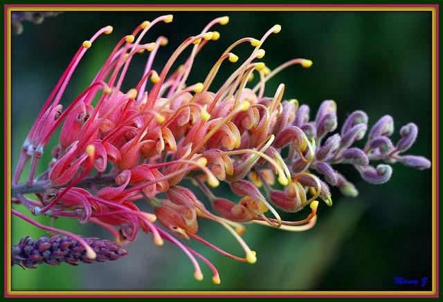 Australian native (Grevillea superba)