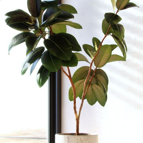 1000 ideas about ficus elastica on pinterest rubber plant large indoor plants and ficus. Black Bedroom Furniture Sets. Home Design Ideas