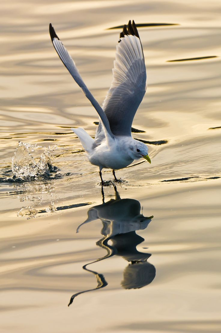 Flying seagull. by Geir Magne  Sætre on 500px. Jonathan Livingstone Seagull