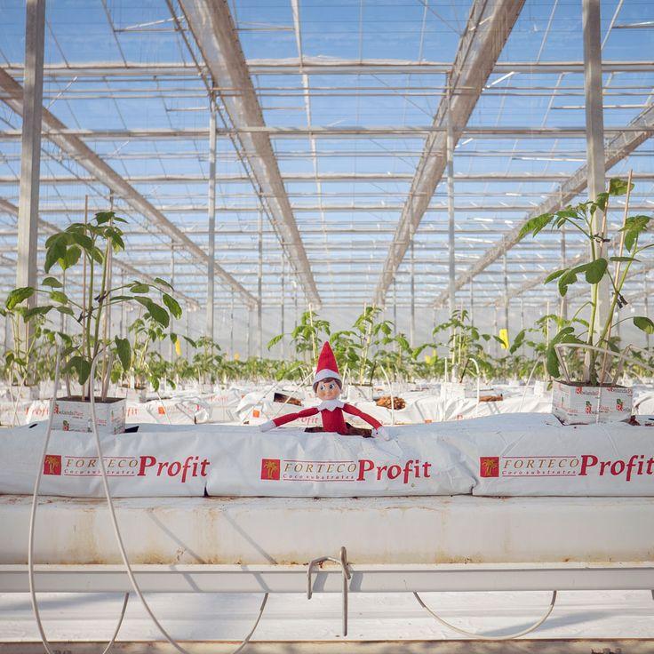 Tomato Plant. Tomato Plant. Elf. Tomato Plant. Tomato Plant…… #Planting #ElfOnTheSheld #GreenhouseGrownMatters