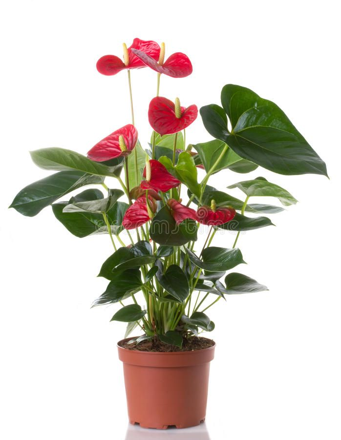 Anthurium Flower In Pot Isolated On White Background Affiliate Pot Flower Anthurium Background White Anthurium Plant Anthurium Anthurium Flower