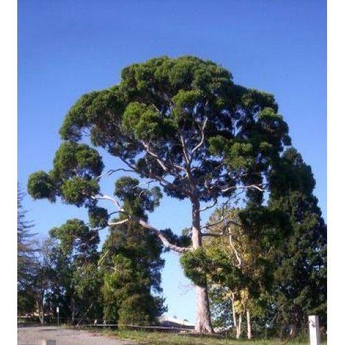 Eucalipto Citriodora Biologico – Olio Essenziale Puro Al 100%