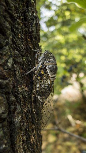 Close up of a  provencal cicada. le chant des cigalles,synonime de chaleur, vacances, été....
