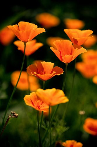 #California poppies  visit me at My Personal blog: http://stampingwithbibiana.blogspot.com/