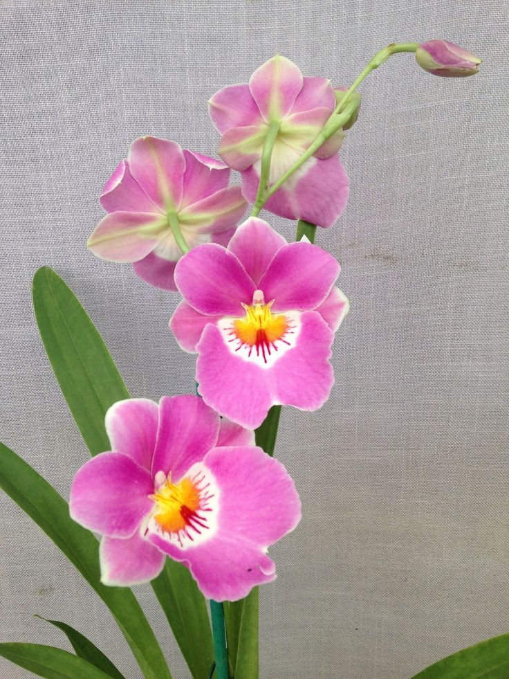 miltoniopsis linda lingle (saint helier x second love)