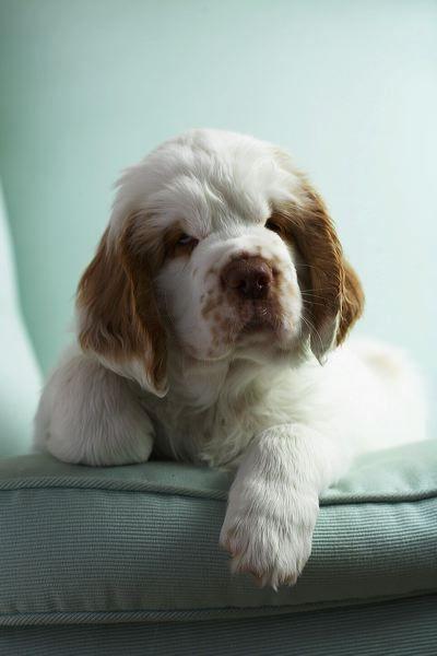 Dash & Albert Clumber Spaniel pup