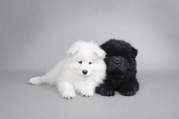 sleepy samoyed & black chow chow puppies